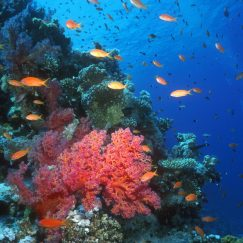 coral-reef-with-anthias-11